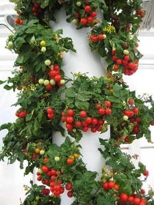 Dwarf Cherry Tomatoes